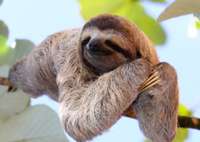 three toed sloth Costa Rica