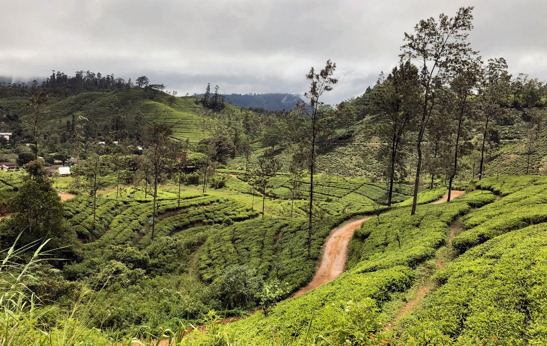 Tea garden, Hatton, Sri Lanka
